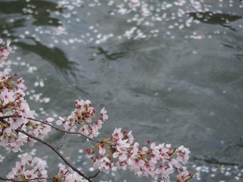 水辺の桜。