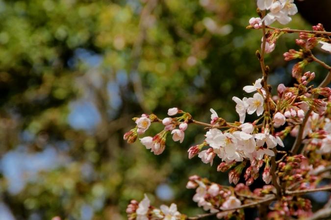 DSC02878本日桜