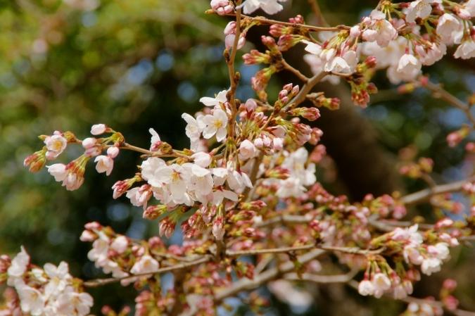 DSC02877本日桜