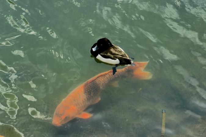 DSC02254鯉と