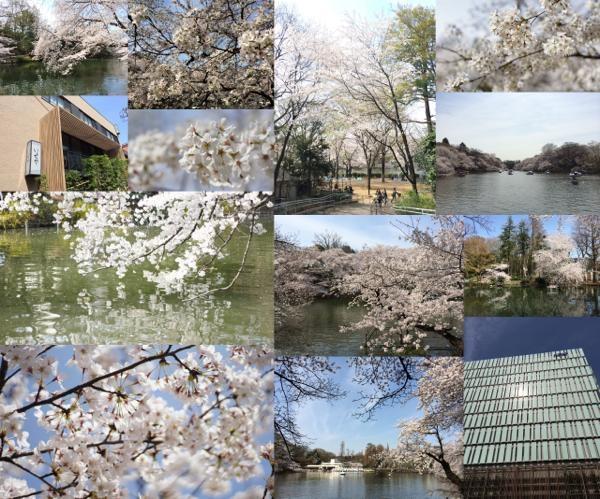 th_桜写真井の頭公園