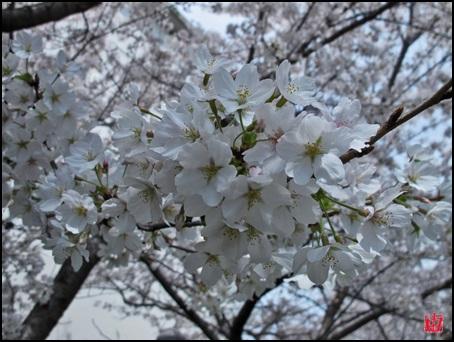 H26年 桜1 落款付