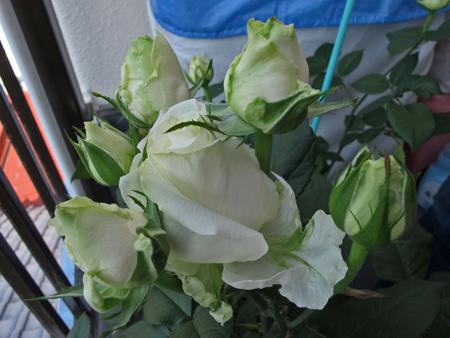 ベランダのバラ 1