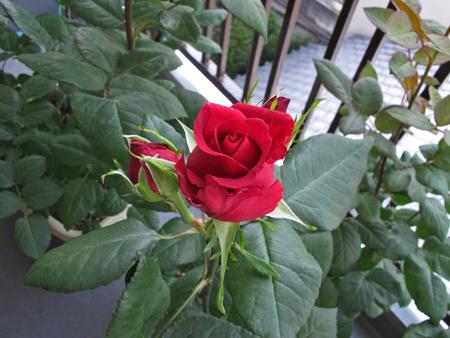 ベランダのバラ 2