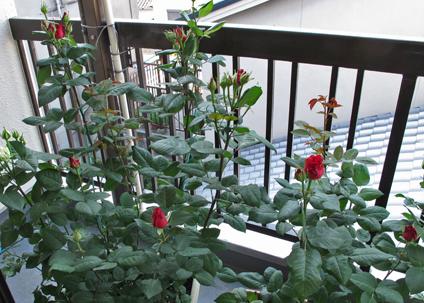 ベランダのバラ 4