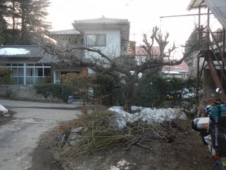 梅の木の剪定 (2)