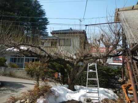 梅の木の剪定 (1)