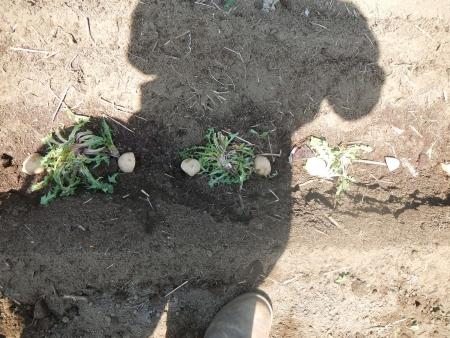 種芋の植え付け (9)