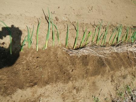 種芋の植え付け (7)