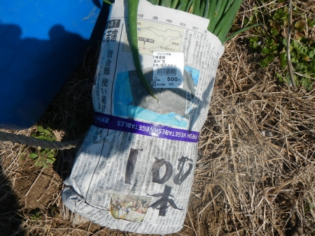 種芋の植え付け (5)