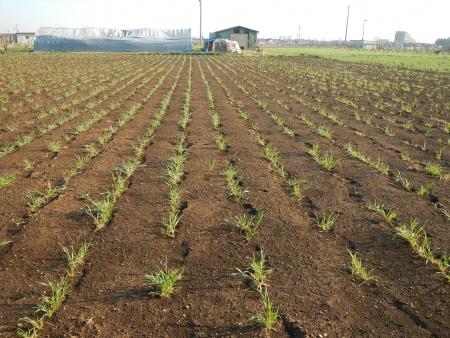 稲の苗 (4)