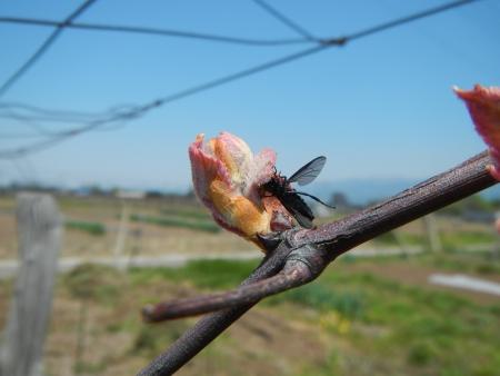 ぶどうの害虫退治 (3)