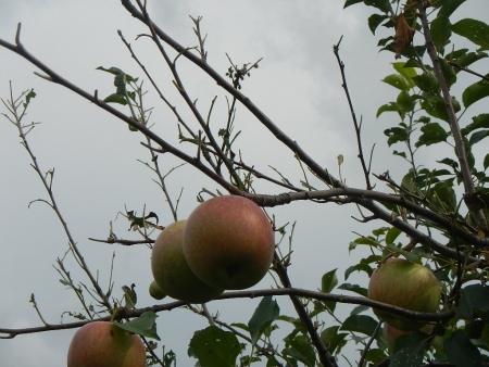 林檎の毛虫 (2)