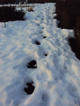 足跡のところだけ雪解けが早い