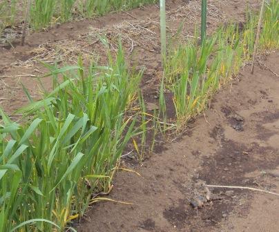 麦の成長の違い