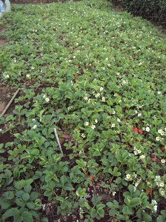 イチゴの花がたくさん