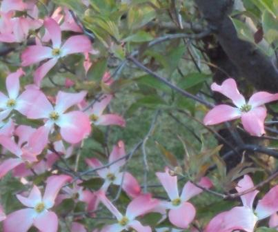 きれいなハナミズキの花