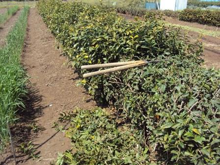 茶ノ木の刈込途中