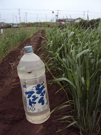 成長がいまいちの麦:肥料不足か