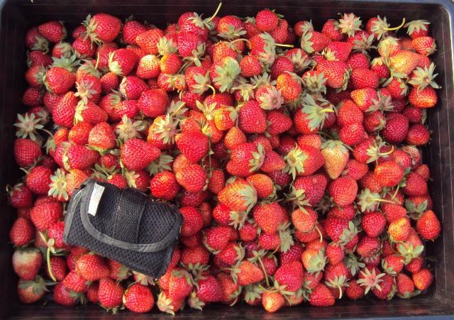 大量のイチゴを収穫