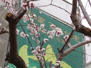 杏の花 (2)