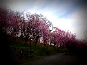 20140510 北見の桜