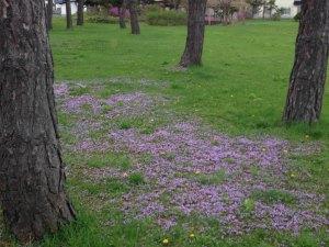 20140514 ハーブの花