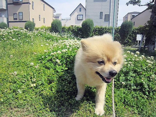 2014.5.6 家の掃除のあと新長田の杵屋。マールの散歩も行きました。