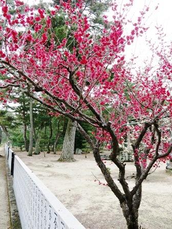 志島ヶ原梅2