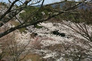 談山神社の桜景色