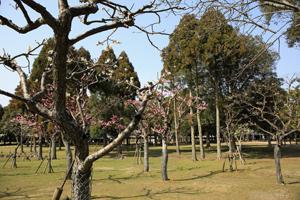 奈良公園の梅