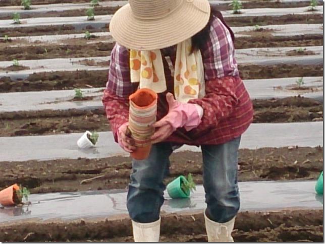 小菊の里本舗植え付け