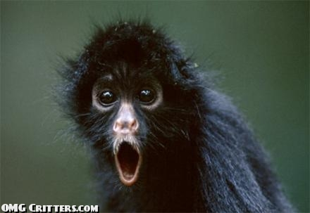 surprised-black-spider-monkey-funny-animal-picture.jpg