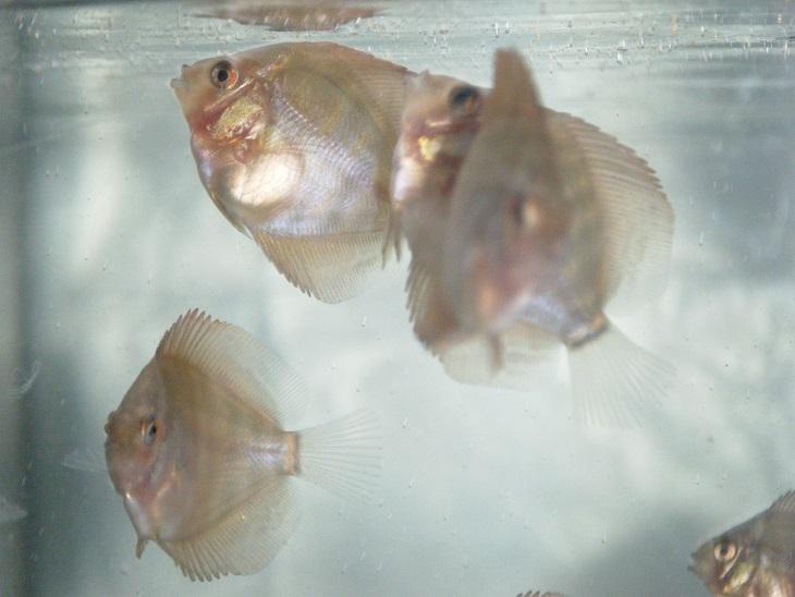 20140623-幼魚赤目