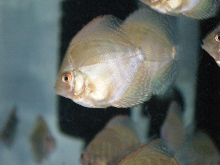 20140707-幼魚2