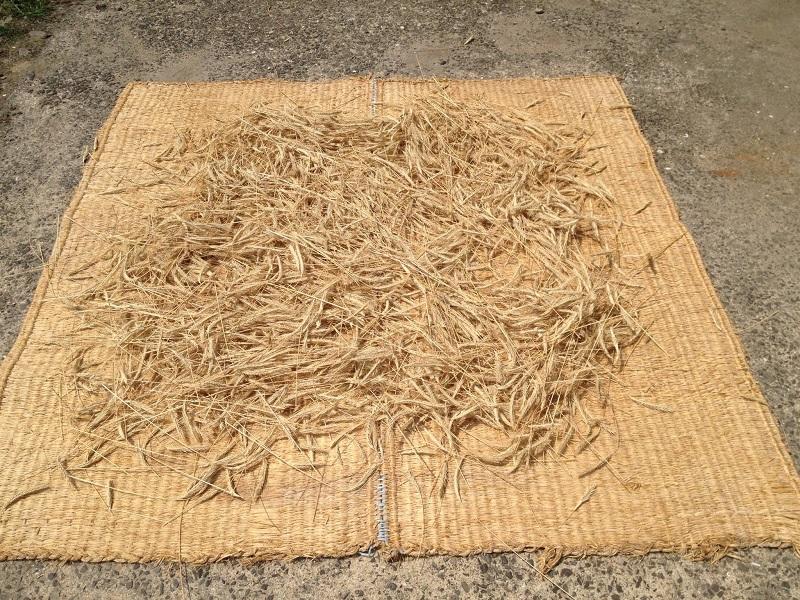 ライ麦の収穫(天日乾燥)