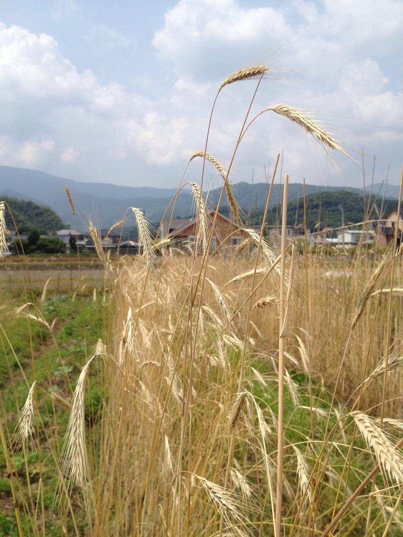 ライ麦の収穫