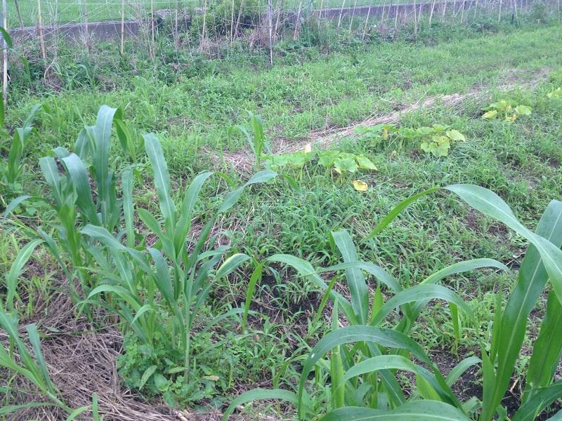 緑肥-ソルゴー