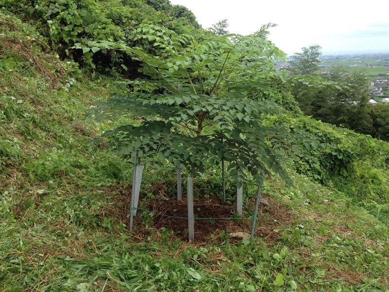 タラの木827-3_
