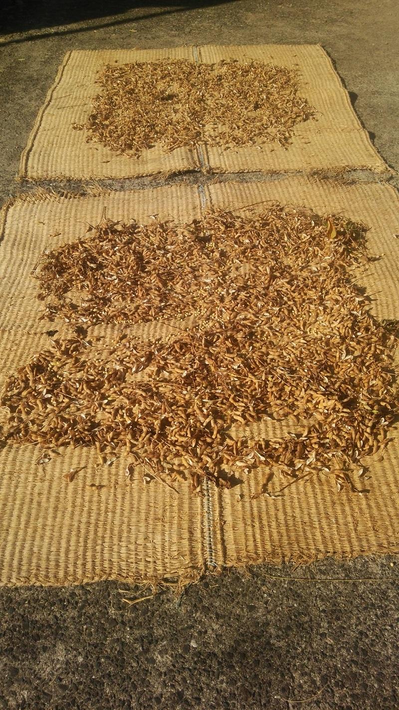大豆の鞘ごと天日干し