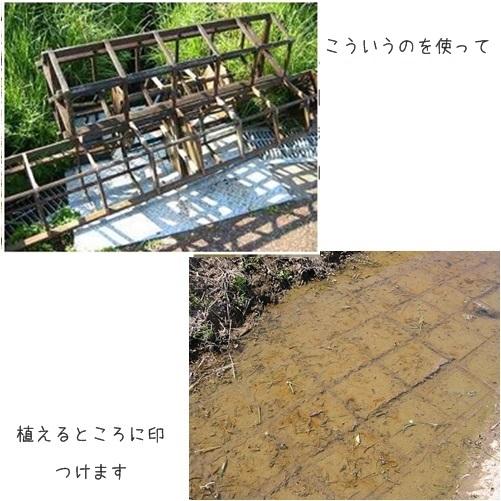 cats稲1
