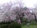 舞鶴公園の桜2