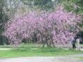 舞鶴公園の桜3