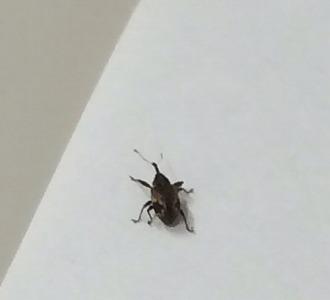 s-クロケシツブチョッキリ【害虫】