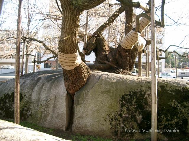 s-石割桜011