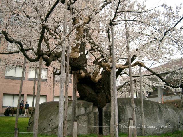 s-4月30日 石割桜005