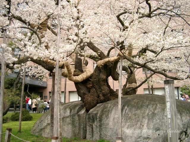 s-4月30日 石割桜008