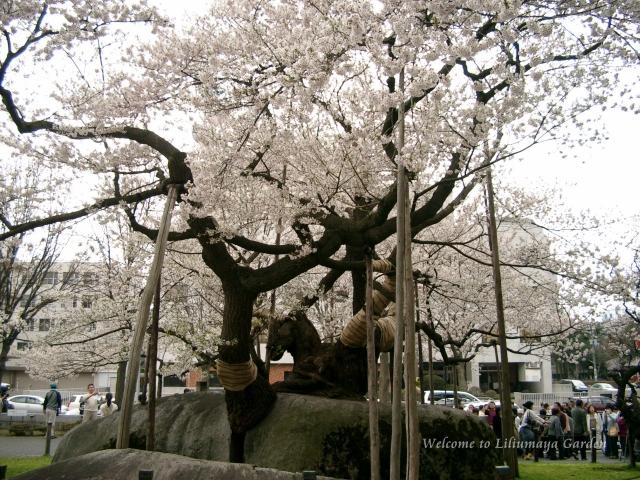 s-4月30日石割桜016