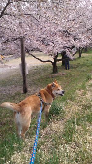 sasuke+hanami2_convert_20140426195524.jpg
