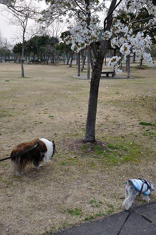 里のゾーンの桜